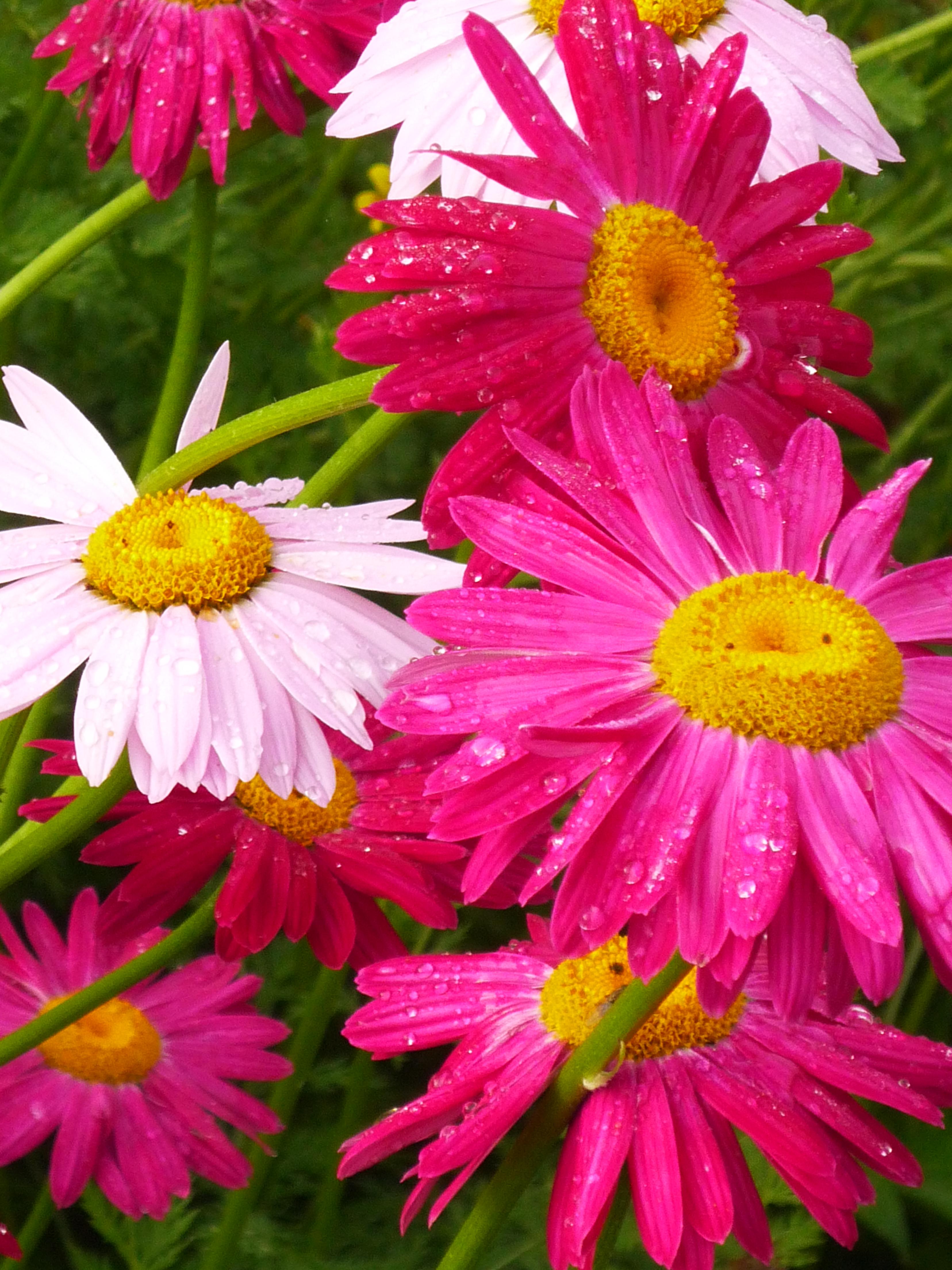 Persische Insektenblume