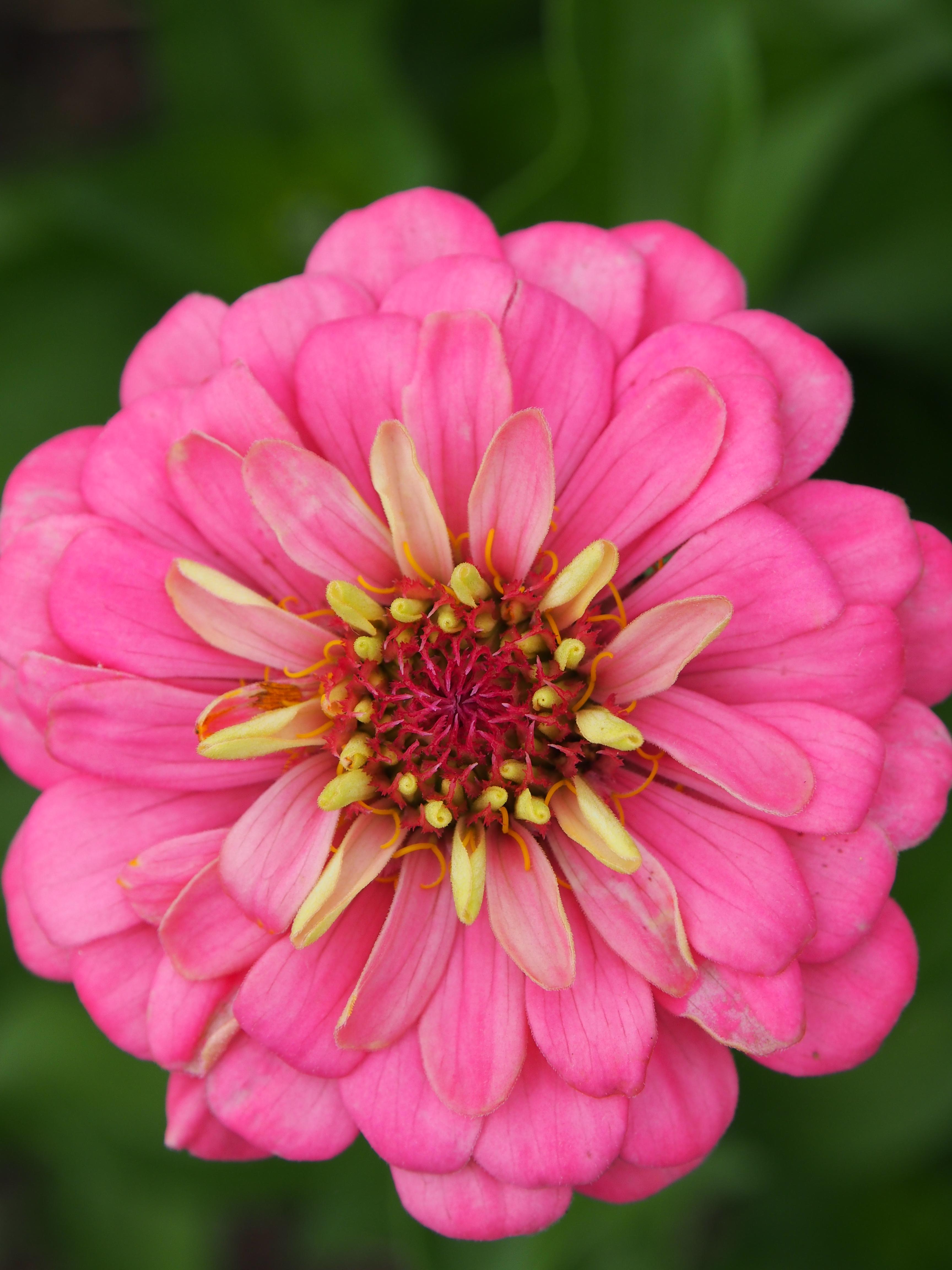 Zinnien rosa