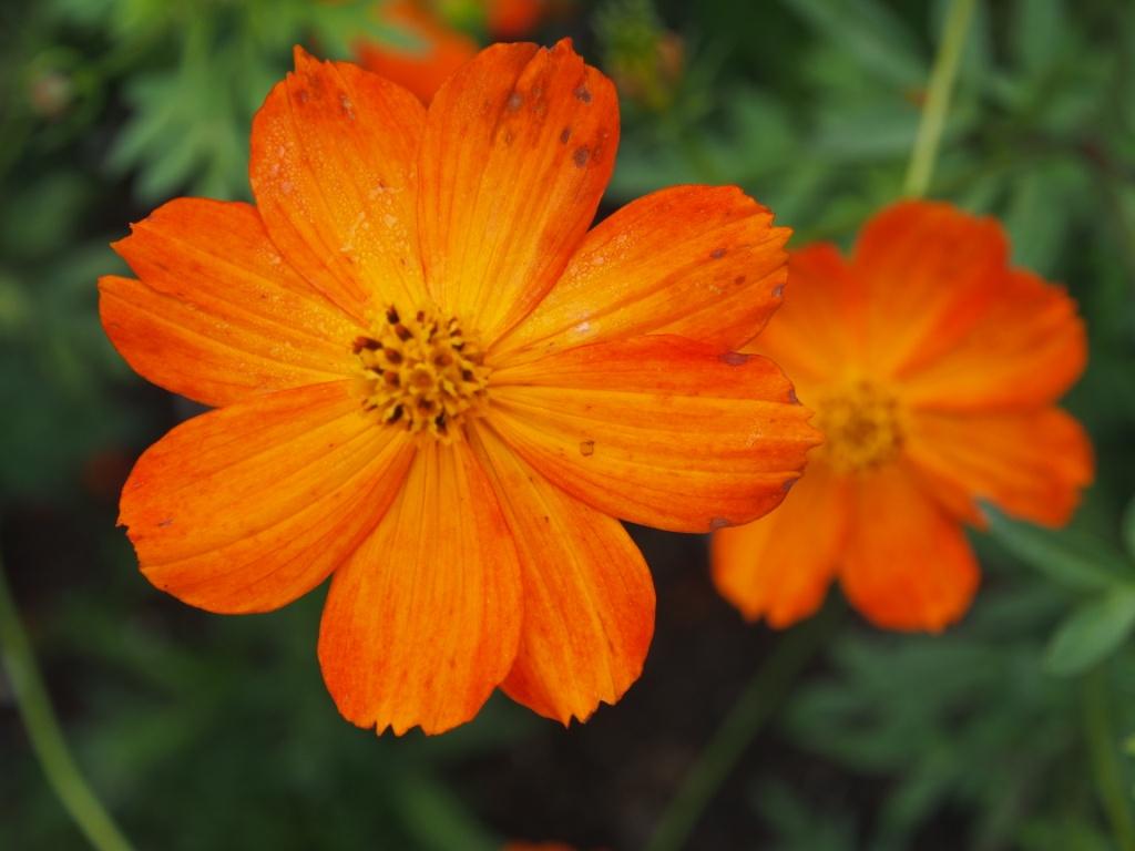 Cosmea orange