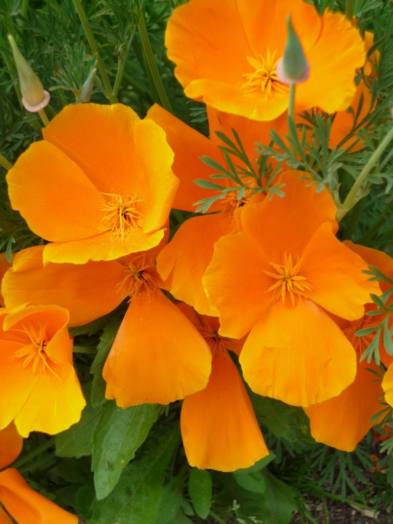 Kalifornischer Mohn orange